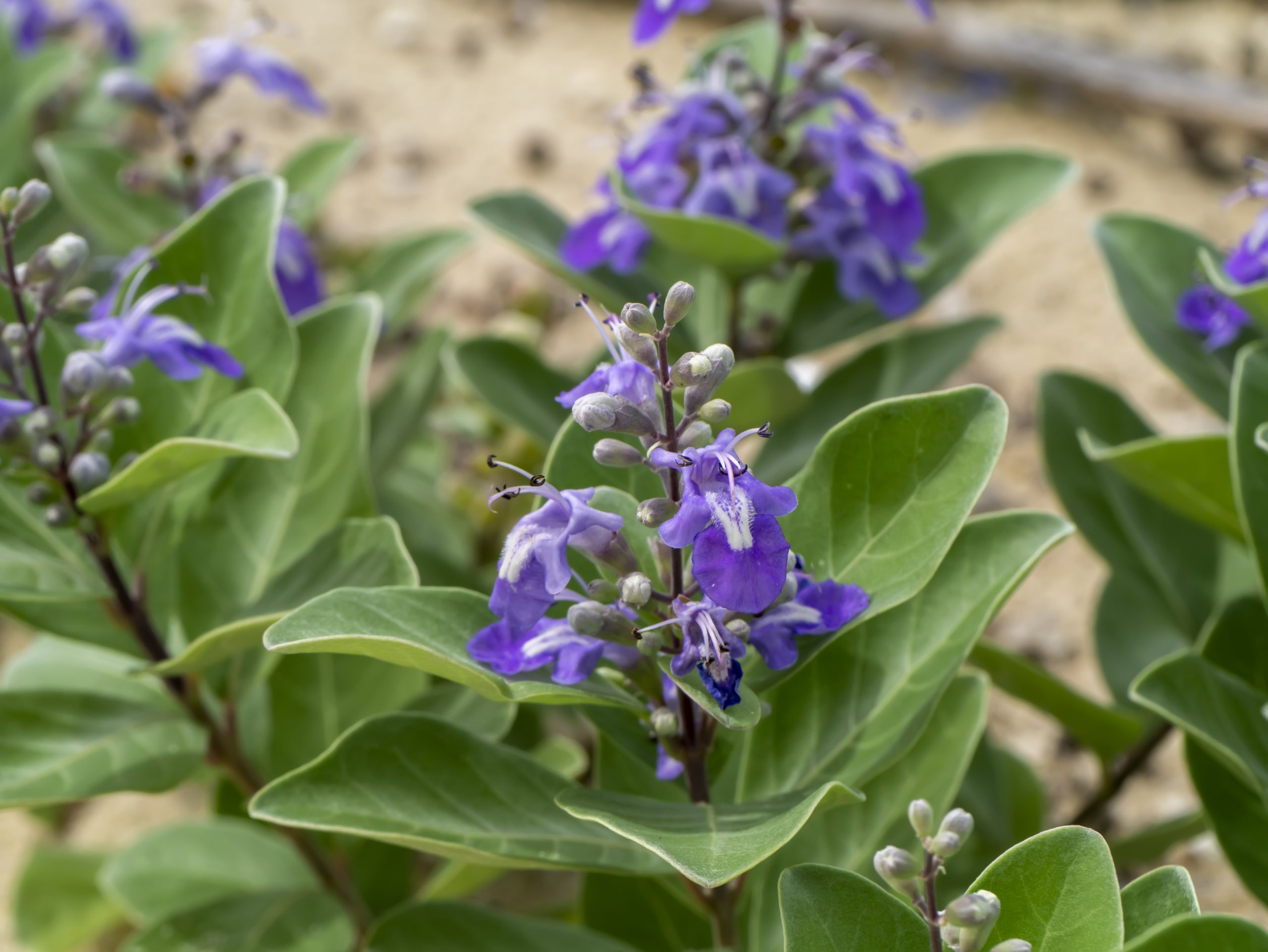Close up of Vitex trifolia plant on the beach.